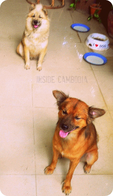 pet dogs in Phnom Penh