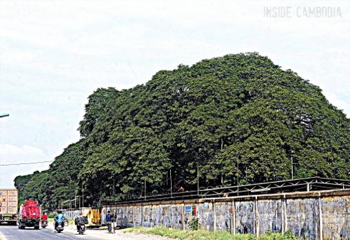 large green tree