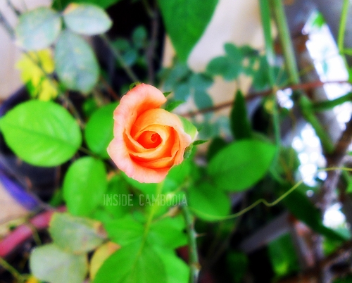 apad a single rose